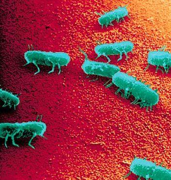 salmonella batteri
